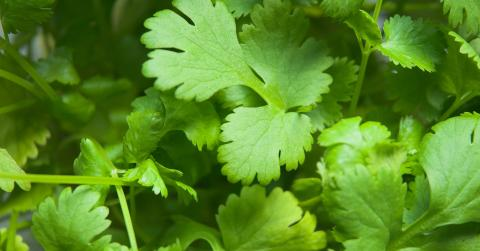 We've Finally Discovered The Real Reason So Many People Hate Coriander