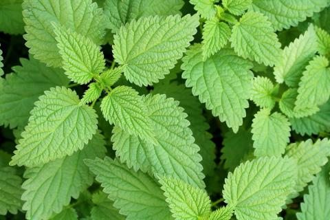 Stinging Nettles: Properties And Uses For Your Hair