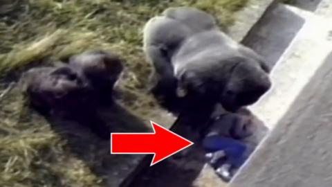 When A Young Boy Falls Into Its Enclosure, This Gorilla's Reaction Stuns Everyone