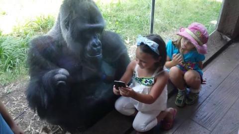 This Gorilla Has A Serious Smartphone Addiction