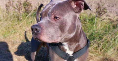 This Pitbull Saved An Elderly Woman's Life In The Most Incredible Way