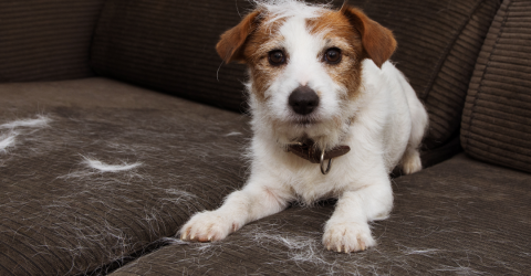 3 Simple Tips To Get Pet Hair Off Your Clothes, Floor And Furniture