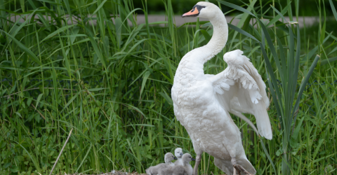Heartbreaking Footage Of Swans Building Their Nest Causes Serious Concern