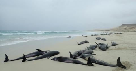 136 Dolphins Found Dead On A Beach In Cape Verde (VIDEO)