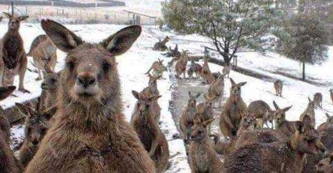 Check Out These Confused Kangaroos Jumping Through The Snow In Australia