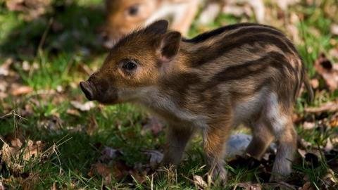 Hunted, Beaten And Tortured: The Often Fatal Cruelty Of Wild Boar Fighting