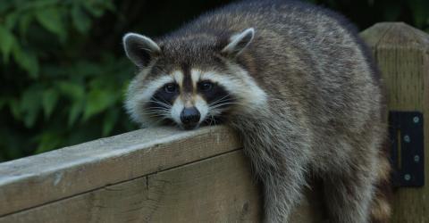 Drunk Raccoons Cause Mayhem In A Residential Neighborhood