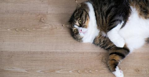 What Can You Do If Your Cat Is Overweight?