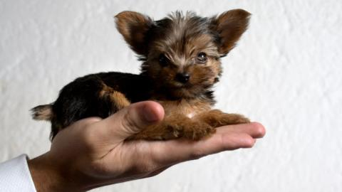 5 Dogs That Stay Small Their Entire Lives