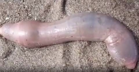Thousands Of These Phallic Shaped Sea Creatures Washed Ashore On A California Beach
