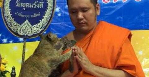 This Cat interrupt A Buddhist Monk During A Prayer, His Reaction Is Adorable