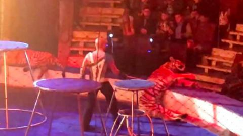 A tiger collapses in a circus—what happens next shocks everyone