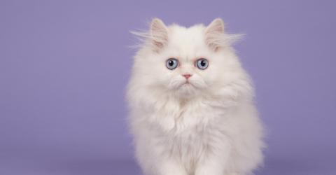 Here's What You Need To Consider Before Adopting A White Cat
