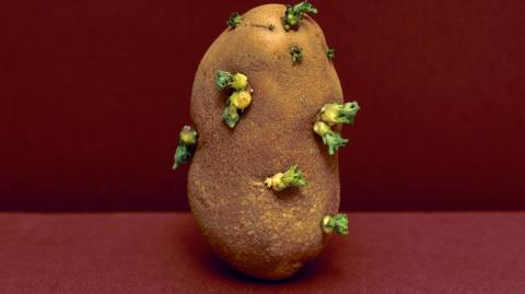 Sprouting potatoes, almost everyone makes the same mistake!