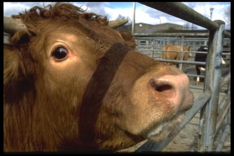 Mad Cow disease found on a Somerset Farm