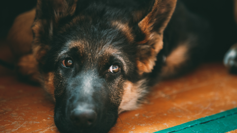 The First Dog to Contract Coronavirus Has Died