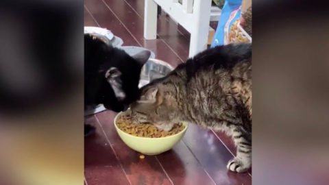This cat has gone viral on Twitter for eating like a Hungry Hippo