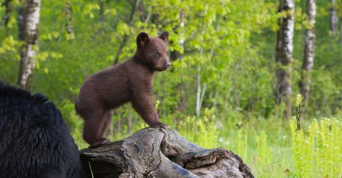 This photographer's pictures of bear cubs went viral