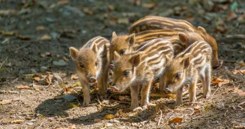 Hunted, beaten and tortured: The cruel reality of wild boar fighting