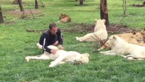 One tiger sacrificed itself to protect the caretaker from a leopard attack (WATCH)