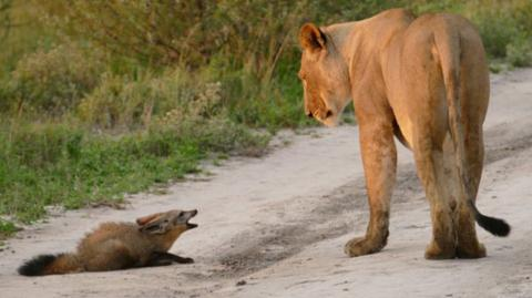 A lioness stumbles upon an injured fox and her reaction will shock you