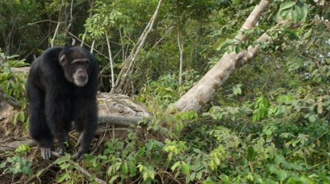 This chimp had an incredible reaction to seeing a human for the first time