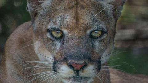 After 20 years he finally got the perfect shot of the elusive Florida panther