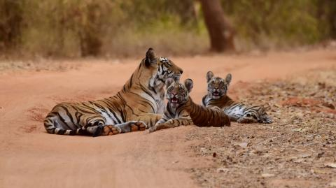 The US has more tigers in captivity than there are in the wild
