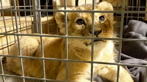A lion cub was rescued from a luxury car on the Champs-Elysées in Paris