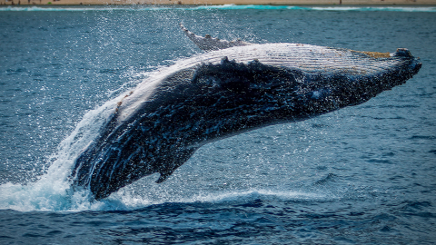 This whale had a $1.5 million fortune in its belly